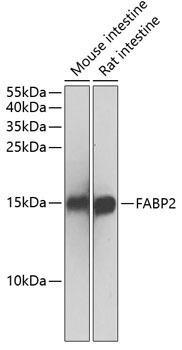 Signal Transduction Antibodies 2 Anti-FABP2 Antibody CAB1621