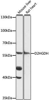 Signal Transduction Antibodies 2 Anti-D2HGDH Antibody CAB16213