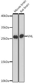 Signal Transduction Antibodies 2 Anti-VHL Antibody CAB16287