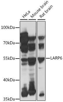 Signal Transduction Antibodies 2 Anti-LARP6 Antibody CAB16330