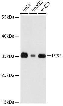 Signal Transduction Antibodies 2 Anti-IFI35 Antibody CAB16384
