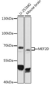 Cell Death Antibodies 1 Anti-MEF2D Antibody CAB16398