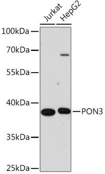 Signal Transduction Antibodies 2 Anti-PON3 Antibody CAB16418