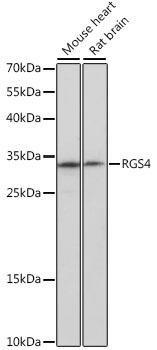 Signal Transduction Antibodies 2 Anti-RGS4 Antibody CAB16423