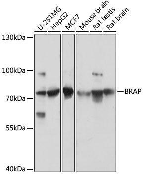 Signal Transduction Antibodies 2 Anti-BRAP Antibody CAB16451