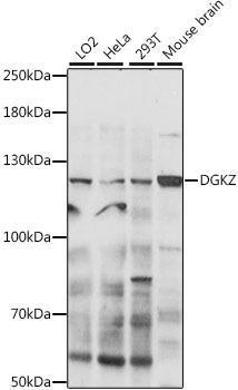 Signal Transduction Antibodies 2 Anti-DGKZ Antibody CAB16457