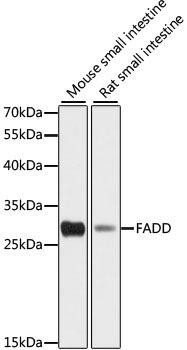 Cell Death Antibodies 1 Anti-FADD Antibody CAB16459