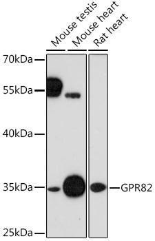 Signal Transduction Antibodies 2 Anti-GPR82 Antibody CAB16516