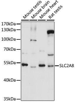 Signal Transduction Antibodies 2 Anti-SLC2A8 Antibody CAB16521