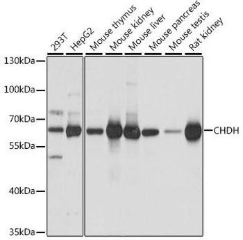 Signal Transduction Antibodies 2 Anti-CHDH Antibody CAB16545