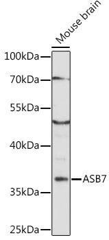 Signal Transduction Antibodies 2 Anti-ASB7 Antibody CAB16596