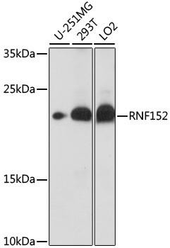 Cell Death Antibodies 1 Anti-RNF152 Antibody CAB16608