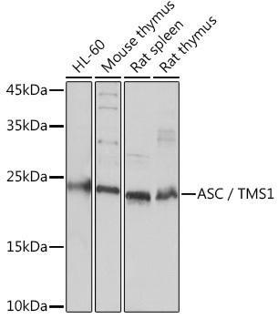 Cell Death Antibodies 1 Anti-ASC / TMS1 Antibody CAB16672