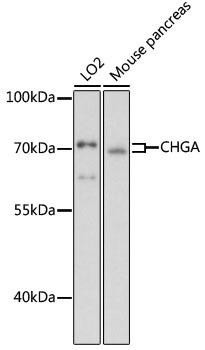 Cell Death Antibodies 1 Anti-CHGA Antibody CAB1668
