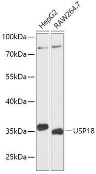 Signal Transduction Antibodies 2 Anti-USP18 Antibody CAB16739