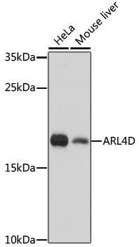 Signal Transduction Antibodies 2 Anti-ARL4D Antibody CAB16761