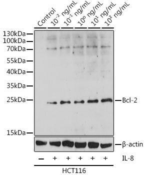Cell Death Antibodies 1 Anti-Bcl-2 Antibody CAB16776