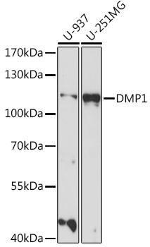 Signal Transduction Antibodies 2 Anti-DMP1 Antibody CAB16832