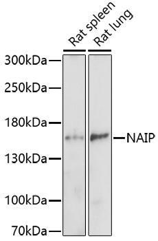 Cell Death Antibodies 1 Anti-NAIP Antibody CAB16924