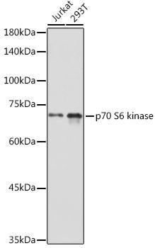 Cell Death Antibodies 1 Anti-p70 S6 kinase Antibody CAB16968