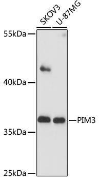 Cell Death Antibodies 1 Anti-PIM3 Antibody CAB17285