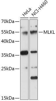 Cell Death Antibodies 1 Anti-MLKL Antibody CAB17312