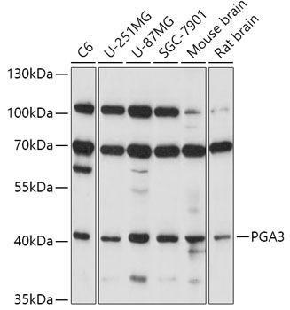 Cell Biology Antibodies 7 Anti-PGA3 Antibody CAB17321