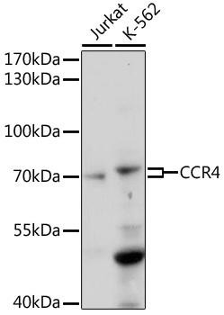 Immunology Antibodies 2 Anti-CCR4 Antibody CAB17324