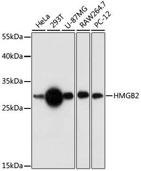 Cell Biology Antibodies 7 Anti-HMGB2 Antibody CAB17360