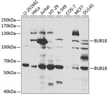 Cell Death Antibodies 1 Anti-BUB1B Antibody CAB1775