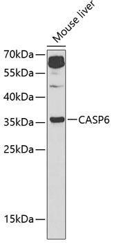 Cell Death Antibodies 1 Anti-Caspase-6 Antibody CAB1784