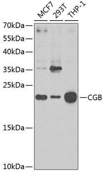 Signal Transduction Antibodies 2 Anti-CGB Antibody CAB1817