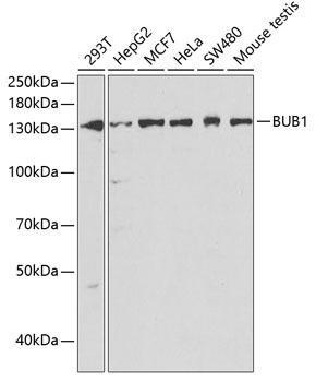 Cell Death Antibodies 1 Anti-BUB1 Antibody CAB1929