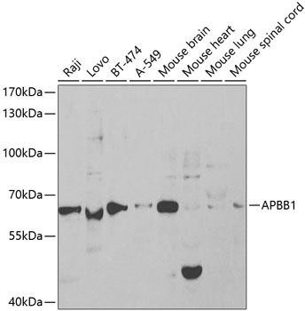 Cell Death Antibodies 1 Anti-APBB1 Antibody CAB1944