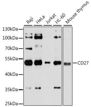 Cell Death Antibodies 1 Anti-CD27 Antibody CAB1945