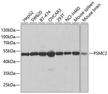 Immunology Antibodies 2 Anti-PSMC2 Antibody CAB1985