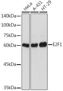 Cell Death Antibodies 1 Anti-E2F1 Antibody CAB2067