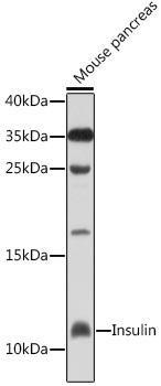 Metabolism Antibodies 2 Anti-Insulin Antibody CAB2090