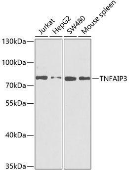 Cell Death Antibodies 1 Anti-TNFAIP3 Antibody CAB2127