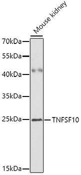Cell Death Antibodies 1 Anti-TNFSF10 Antibody CAB2138