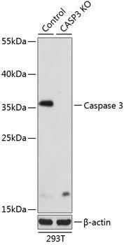 KO Validated Antibodies 1 Anti-Caspase-3 Antibody CAB2156KO Validated