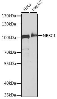 Cell Death Antibodies 1 Anti-NR3C1 Antibody CAB2164