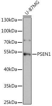 Cell Death Antibodies 1 Anti-PSEN1 Antibody CAB2187