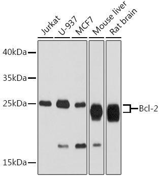 Cell Death Antibodies 1 Anti-Bcl-2 Antibody CAB2212