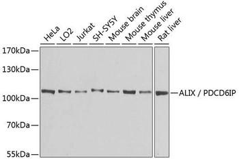 Cell Death Antibodies 1 Anti-ALIX / PDCD6IP Antibody CAB2215