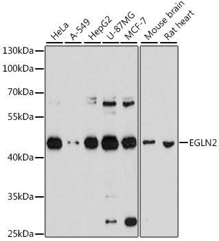 Cell Biology Antibodies 8 Anti-EGLN2 Antibody CAB2252