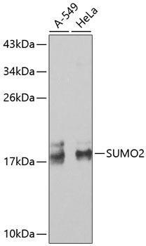Signal Transduction Antibodies 2 Anti-SUMO2 Antibody CAB2486
