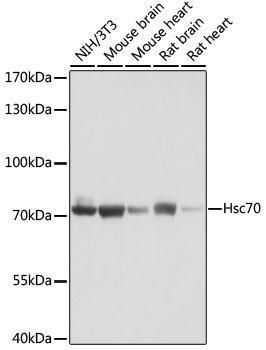 Immunology Antibodies 2 Anti-Hsc70 Antibody CAB2487