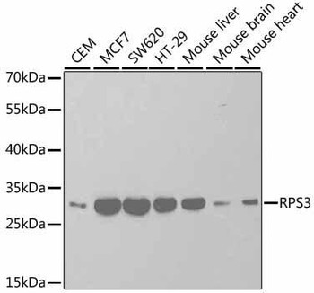 Cell Death Antibodies 1 Anti-RPS3 Antibody CAB2533