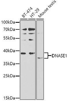 Cell Death Antibodies 1 Anti-DNASE1 Antibody CAB2537